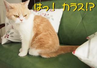 「怒ってなどいない!! 」怒り顔の猫・小雪 フォトコラム Day 32