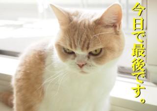 「怒ってなどいない!! 」怒り顔の猫・小雪 フォトコラム Day 54