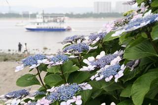 神奈川県・八景島のあじさい祭「みんなのあじさい写真展」で作品募集