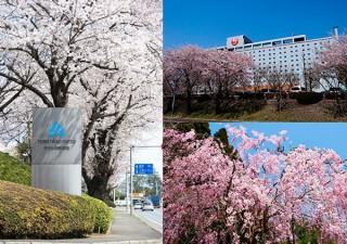 約100本の桜が植えられたホテル日航成田が実施する写真コンテスト「桜めでる 2016」