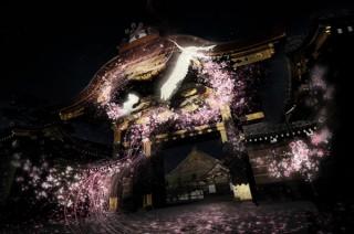 200本を超える桜や庭園がライトアップされて先進的な桜のアートも展開される「二条城桜まつり2017」