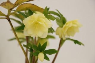 早春に咲く可憐な花の写真を募集する「クリスマスローズフォトコンテスト」がスタート