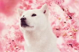 """ソフトバンク、亡くなった初代白い犬""""カイくん""""を偲ぶ「カイくんありがとう展」開催"""