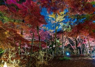 約500本のカエデがライトアップ演出されるイルミネーションイベント「紅葉見ナイト」