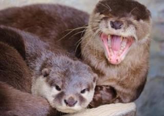 Twitterで人気の桂浜水族館が、カワウソ登場の「オンライン水族館」を出展