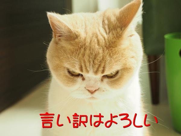 「怒ってなどいない!! 」怒り顔の猫・小雪 フォトコラム Day 28 ...